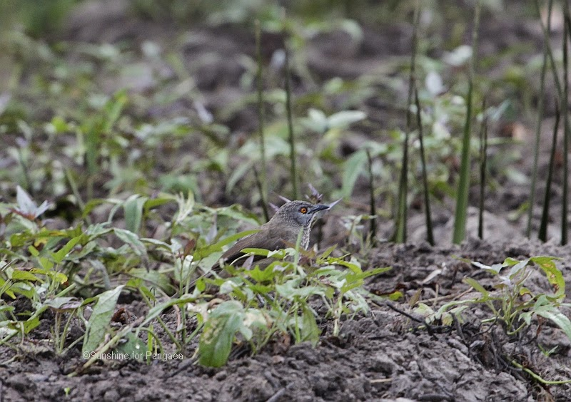 Brown Babbler  in the Abuko rice fields