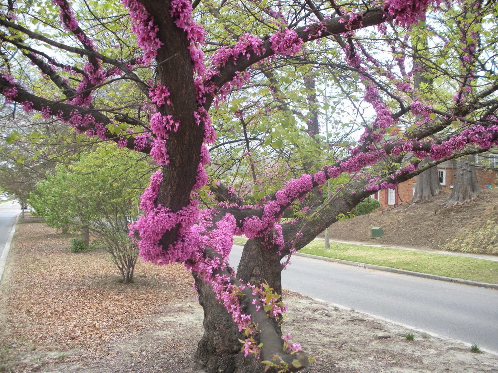 Memphis trees april comes to memphis a remarkable redbud blooming heavily along the trunk april 13 2014 palm sunday mightylinksfo