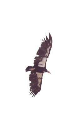 California condor #23
