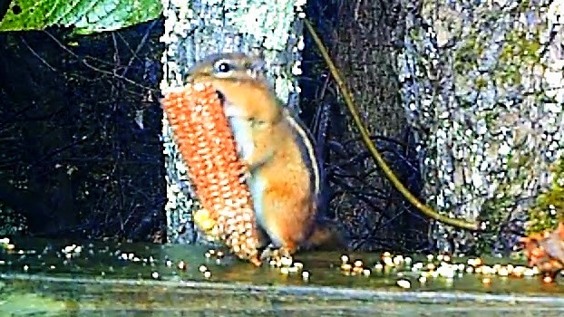 Funny Talking Chipmunk Takes a Fall !