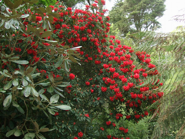 Red Rhododendron in Flower at Trengwainton in Cornwall.