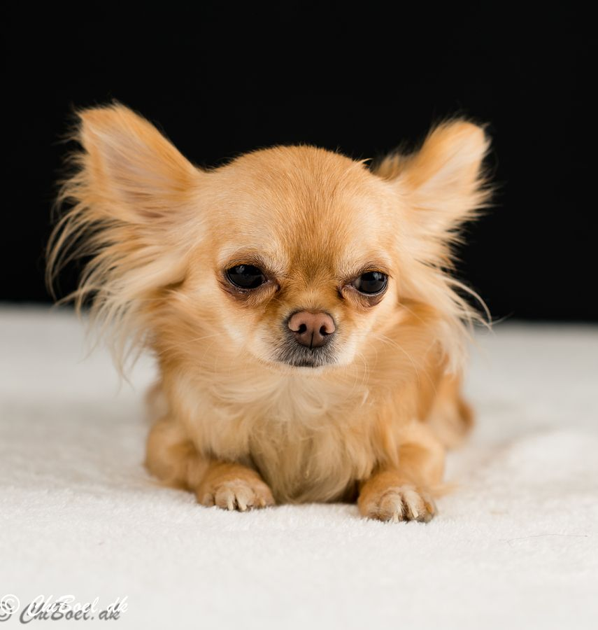 the cutest chihuahua puppies ever best photography art landscapes and animal photography. Black Bedroom Furniture Sets. Home Design Ideas