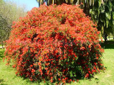 Plumerillo rojo en Flor