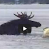 Moose Rescued From Frozen Loon Lake