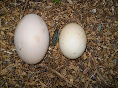 Biodynamic eggs