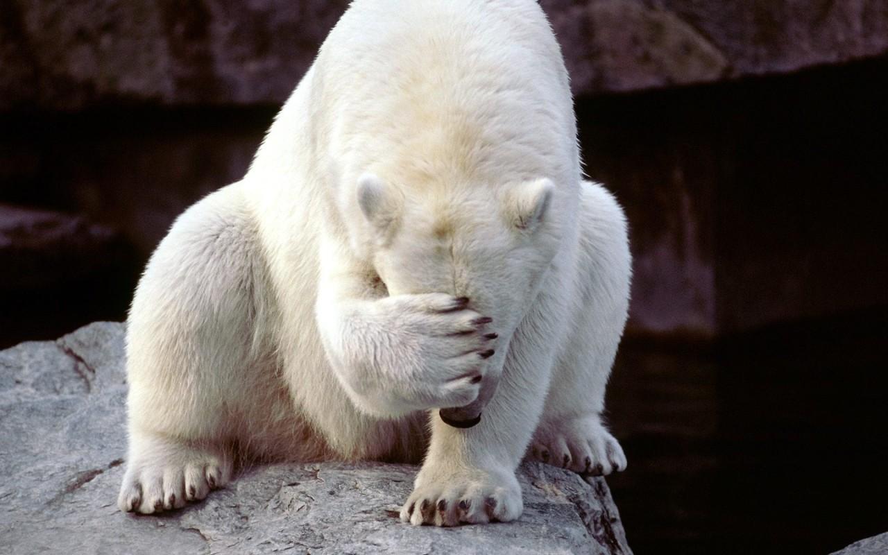 funny bear wallpaper desktop funny animal