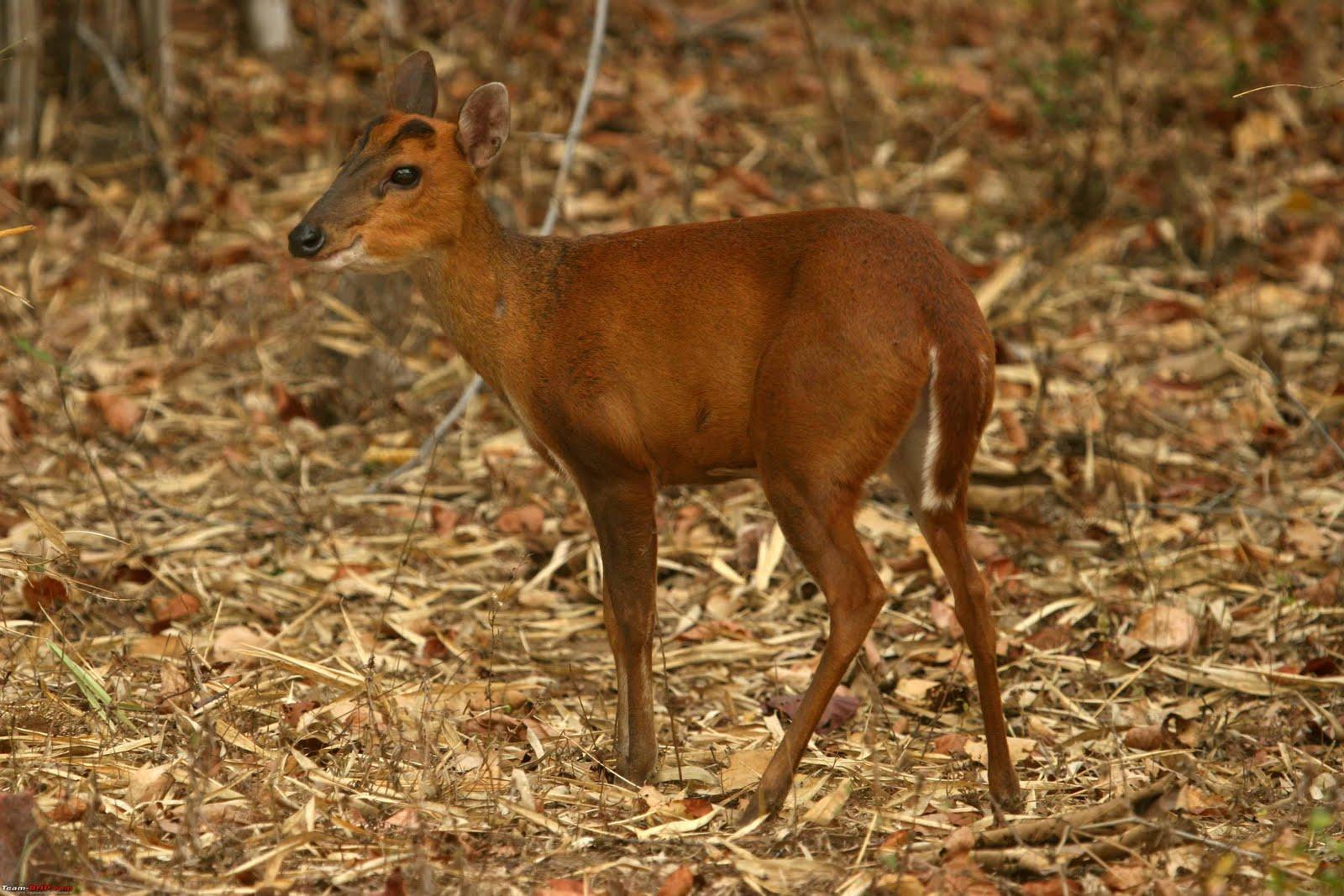 http://3.bp.blogspot.com/-jsNsh3H4CW0/Tj97QPCFf6I/AAAAAAAAAHo/XWmRW-cO_dM/s1600/Barking%20Deer_Maharashtra_India.jpg
