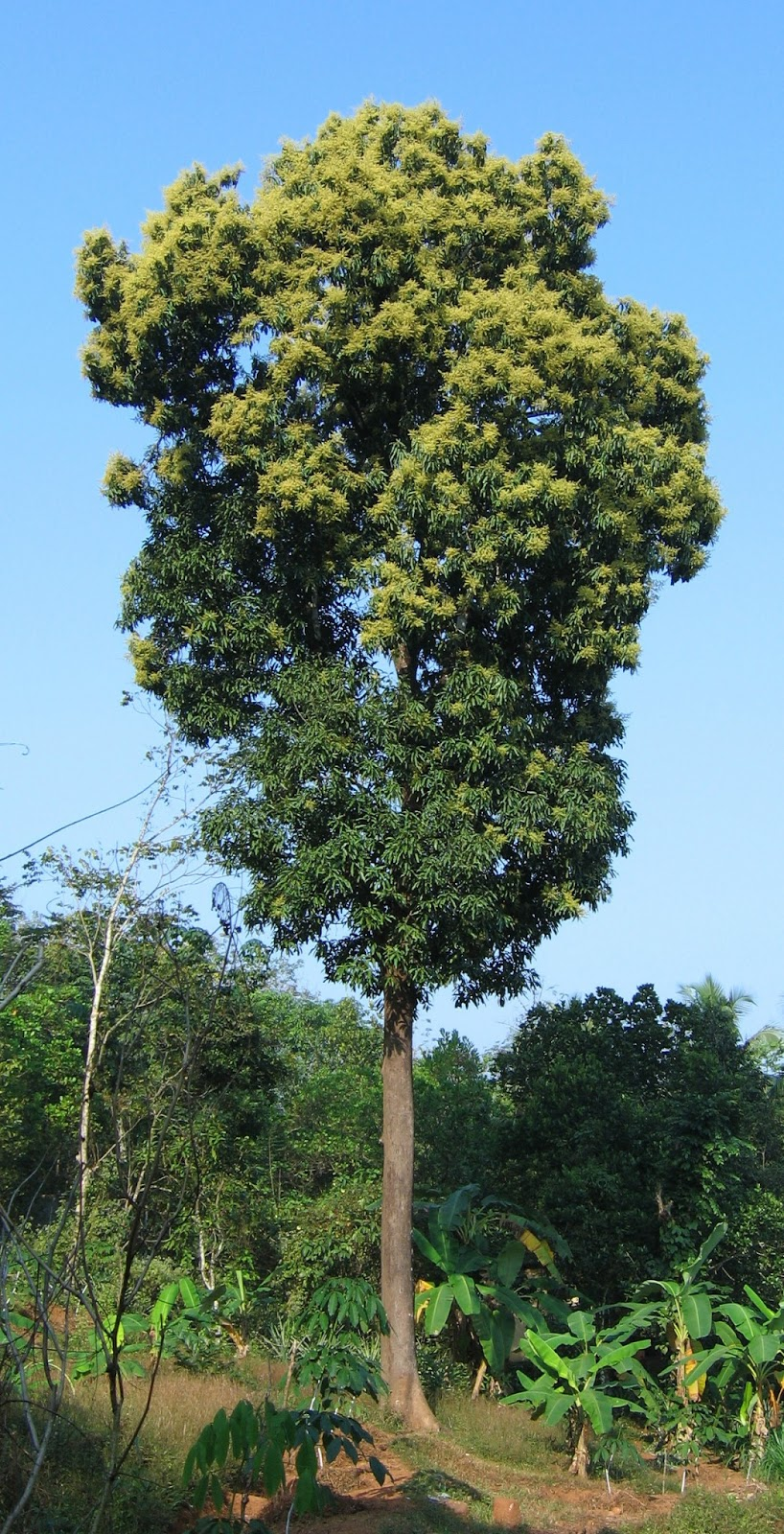 Trees Planet: Mangifera indica - Mango Tree