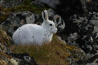 Thỏ ngọc