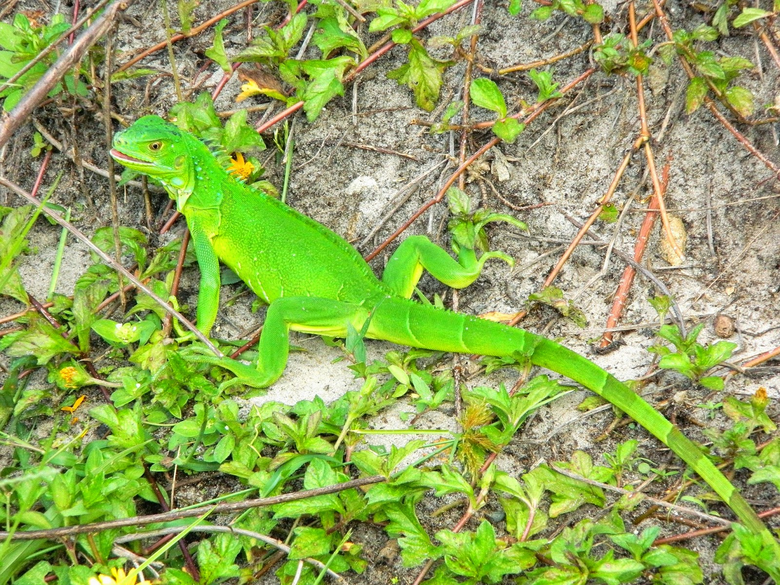 how to get my iguana to eat