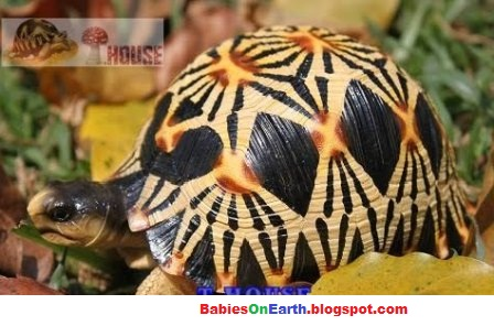 baby Radiated Tortoise