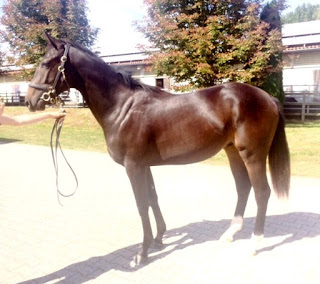 Nuevo yearling: NORWIN (FR)