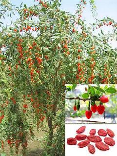 tanaman buah biji goji beri