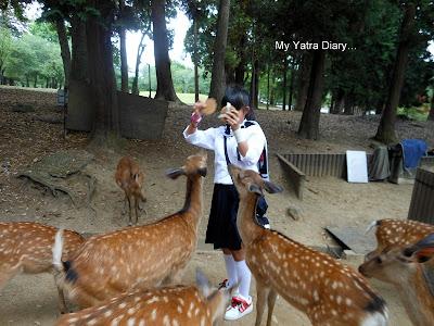 Feeding deers with shika senbei - the deer food in Nara Park, Japan