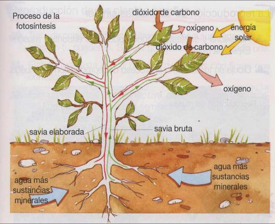 Los rboles definici n y caracter sticas de los rboles for Caracteristicas de arboles frondosos