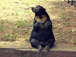Malay Sun Bear or Honey Bear showing sharp claws