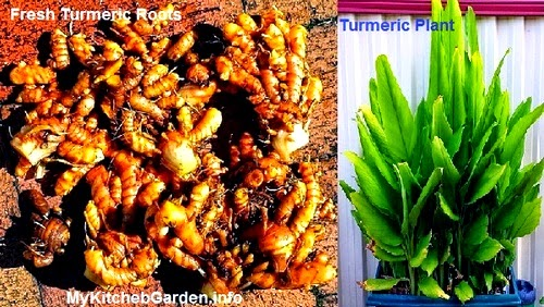 Fresh Turmeric Roots & Turmeric Plant in a Container