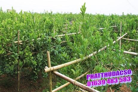 Kỹ thuật trồng cây phật thủ