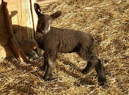 2013 Ram Lamb