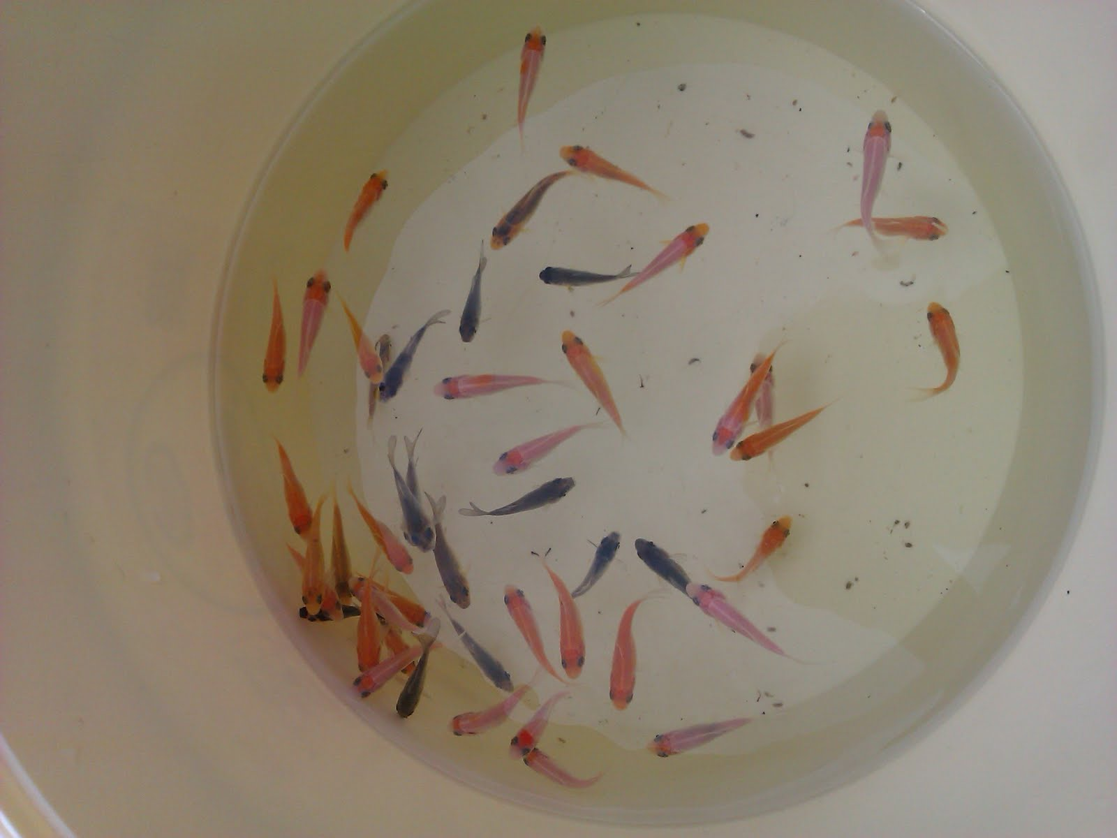 Guide to growing koi fry another load going in nvjuhfo Choice Image