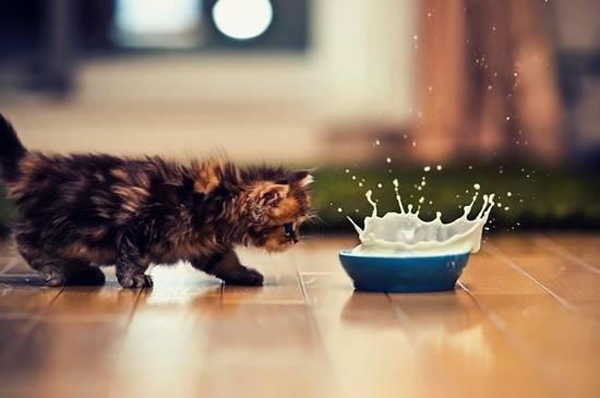anak-kucing-minum-susu