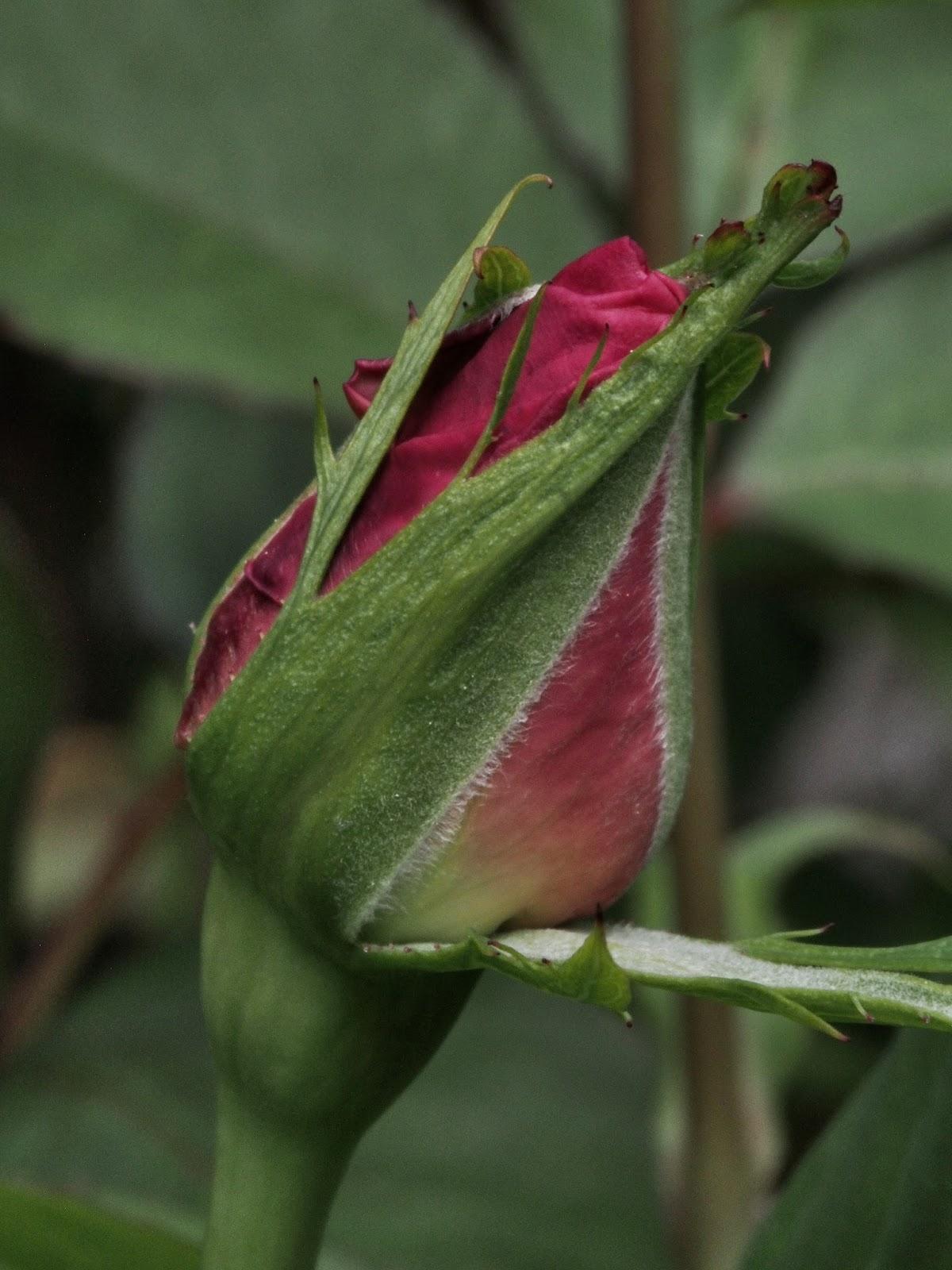 Peeling Open #rosebud #rose #centralpark #shakespearesgarden #nyc 2014