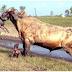 Lihat Apa Jadi Bila Anjing Pit buls Berlawan Dengan Lembu