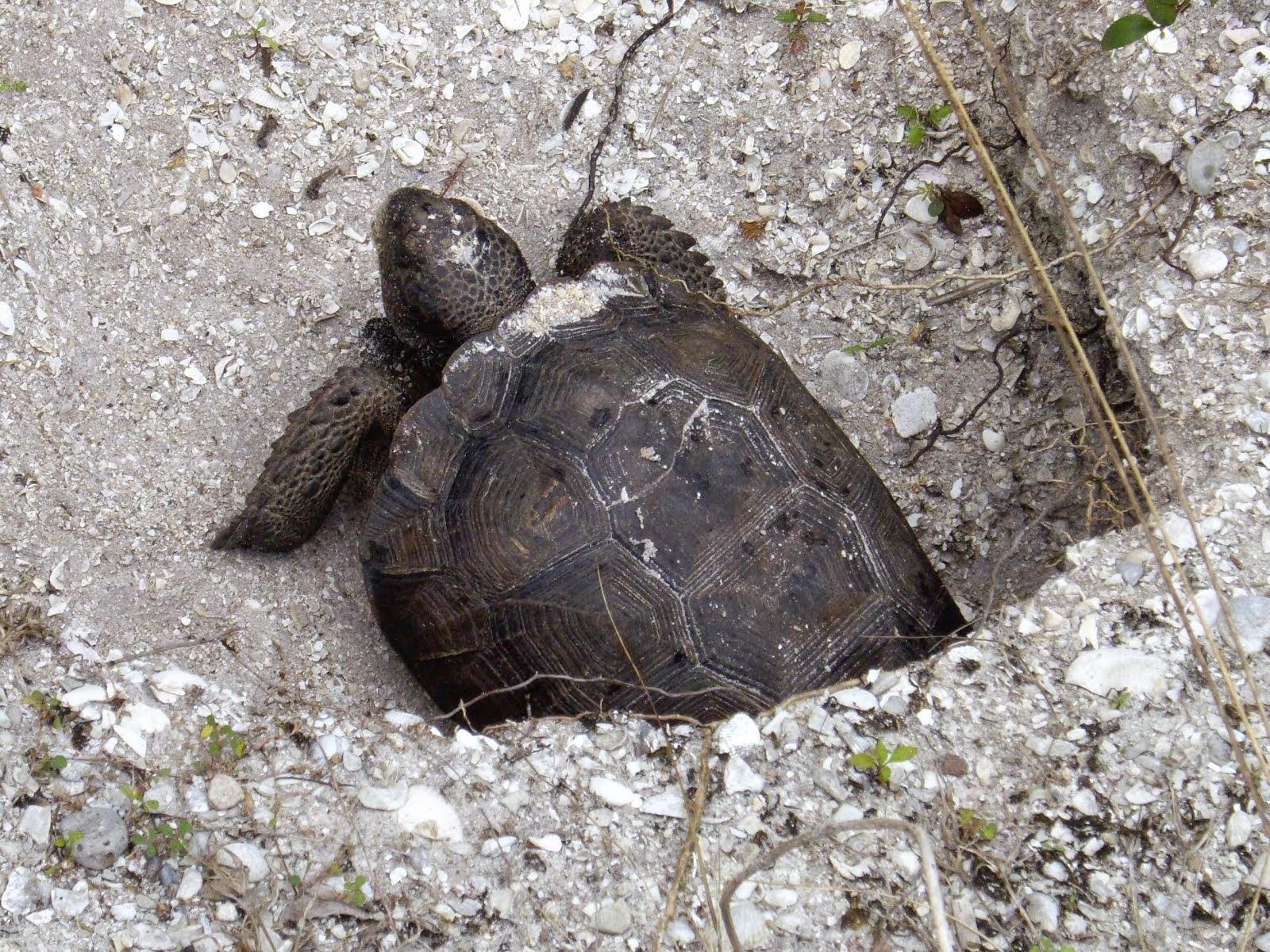 Une belle tortue sur la plage de Barefoot, FL