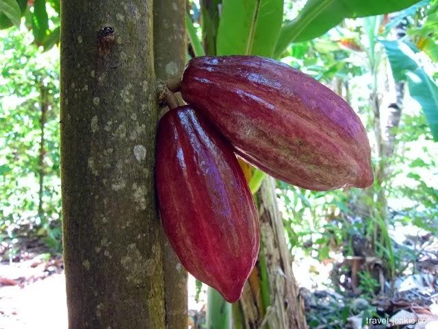 Pemangkasan Tanaman Kakao