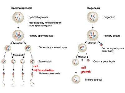 Pembelahan meiosis pada manusia tempat spermatogenesis ccuart Image collections