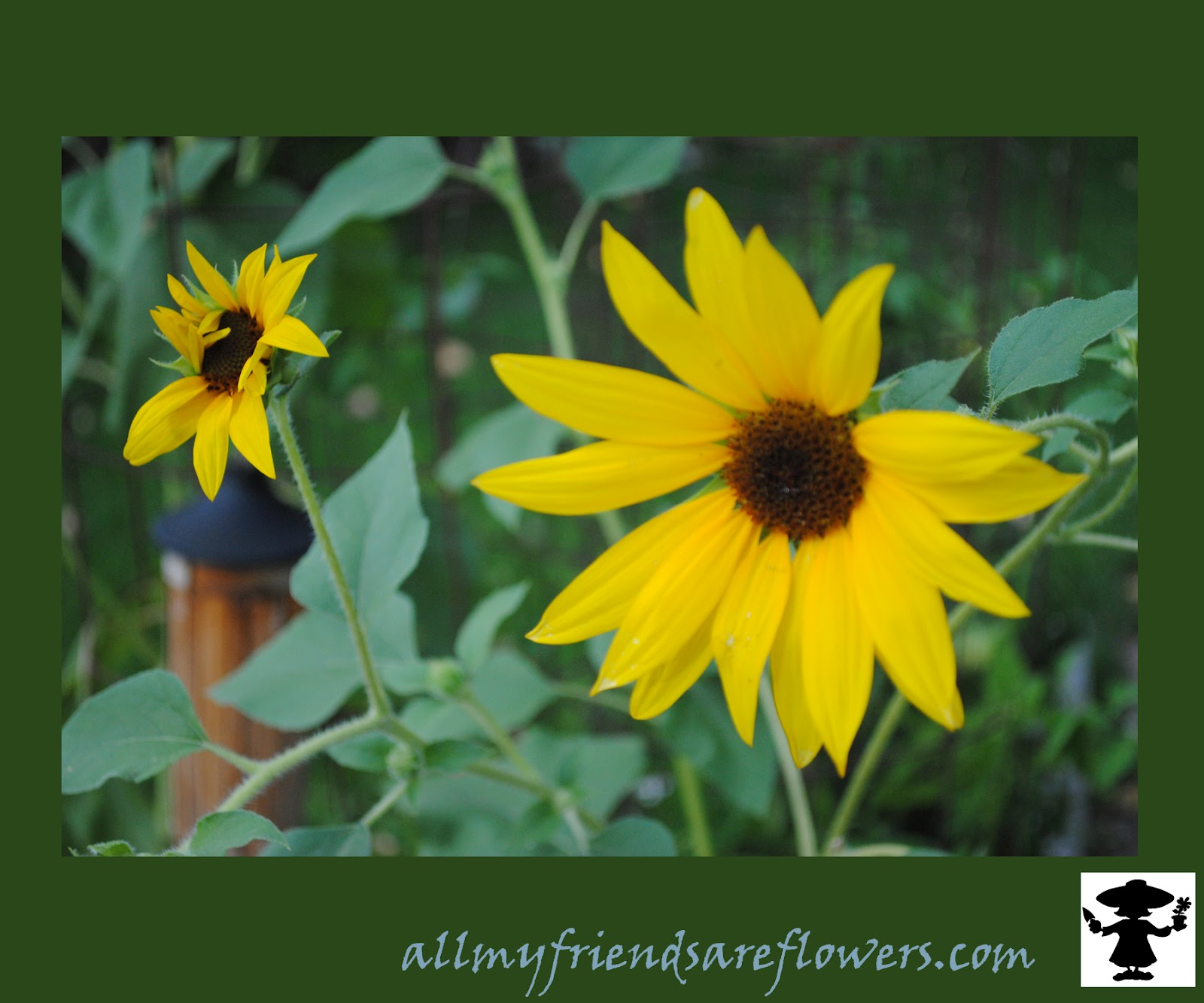 sunflower at dawn allmyfriendsareflowers.com