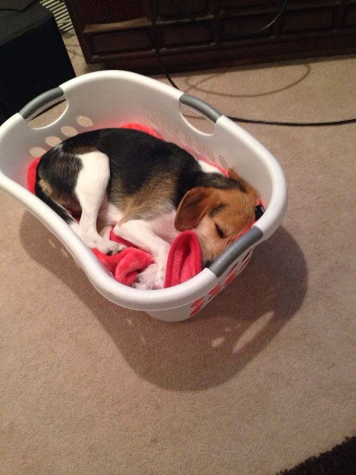 Cute dogs - part 9 (50 pics), puppy sleeps in the basket