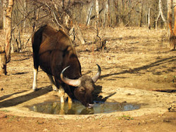 The Gaur also reffered to as the Bison , drinks at the water hole