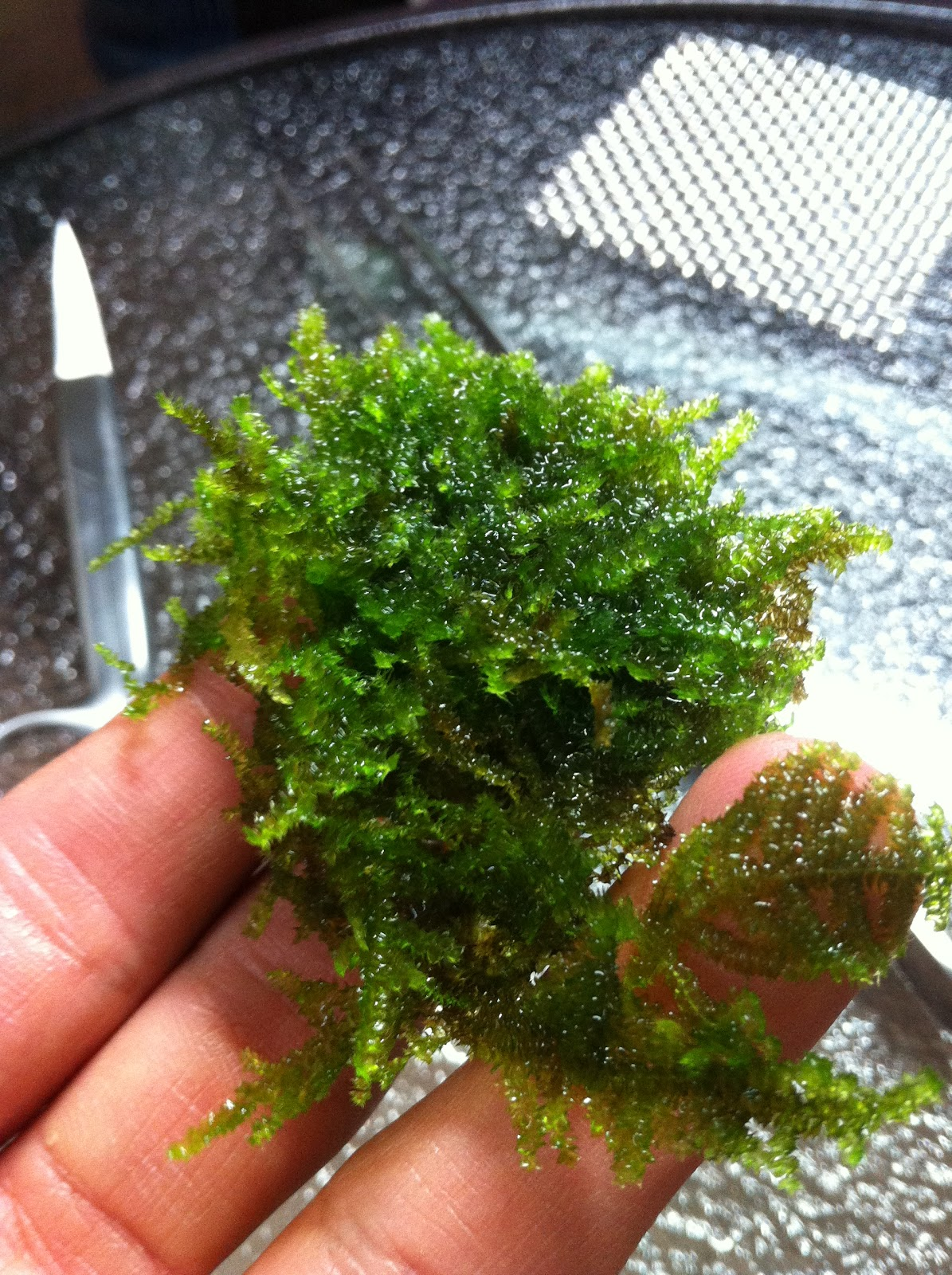 how to grow a moss culture at bottom of aquarium