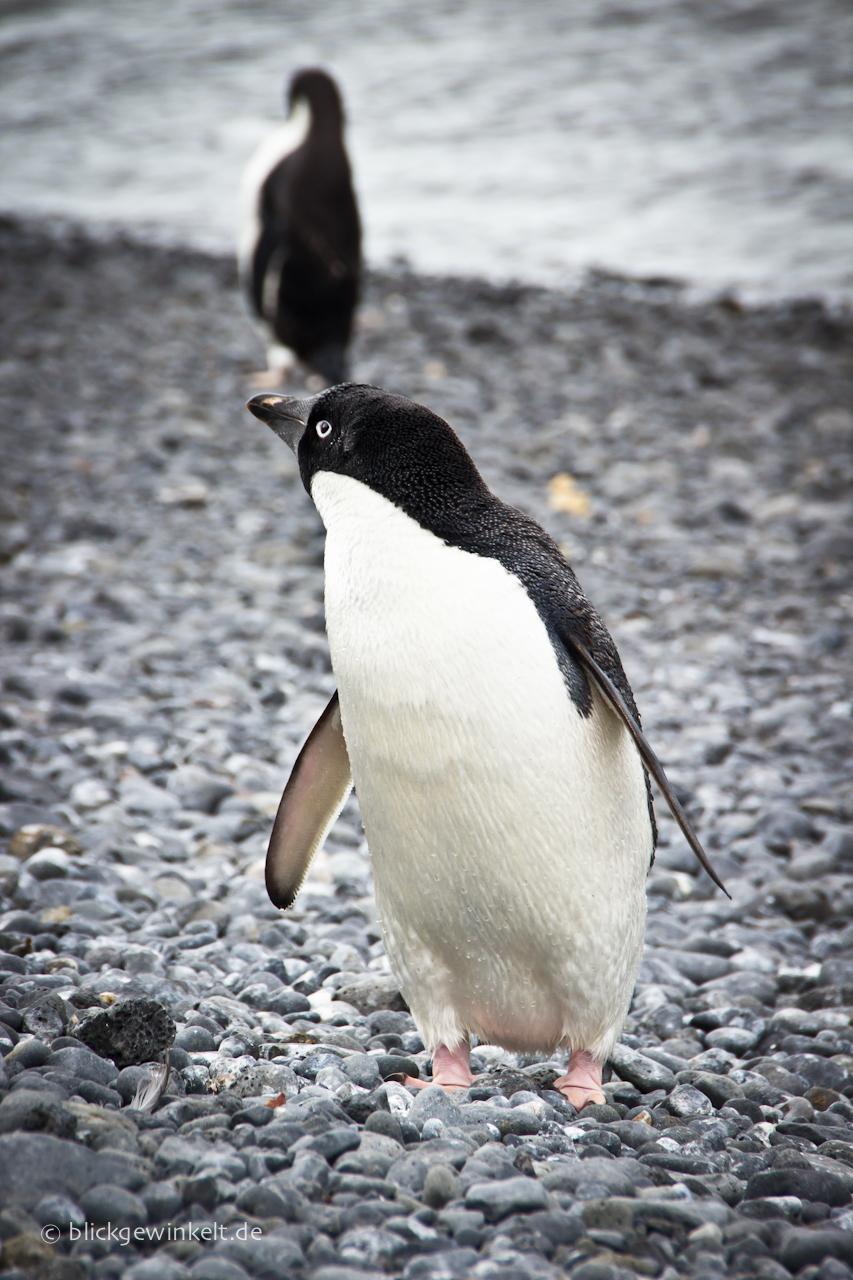 Adelie-Pinguin in der Antarktis