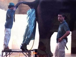 Homem dentro do rabo dum elefante
