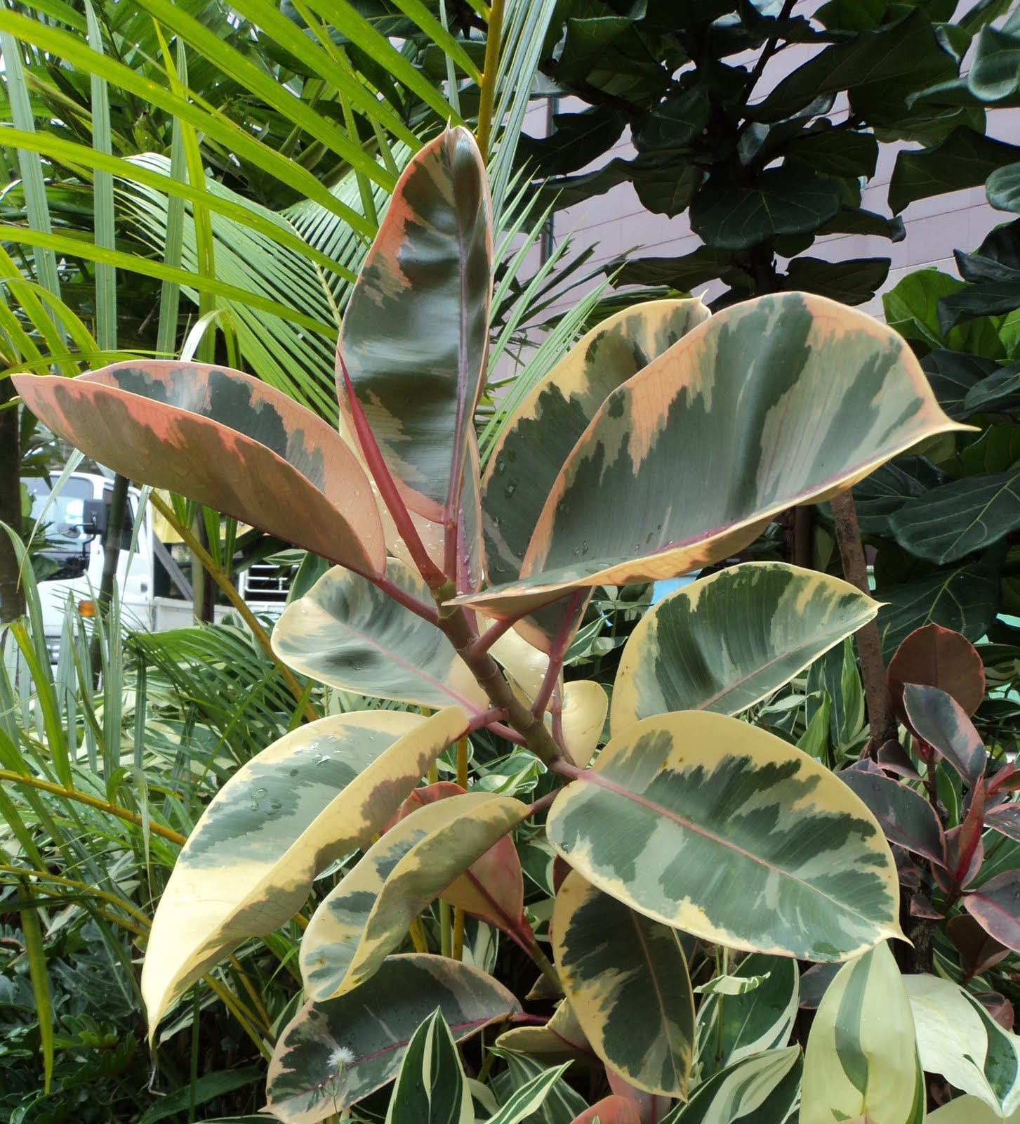 Ficus Elastica ( Variegated India Rubber Fig)