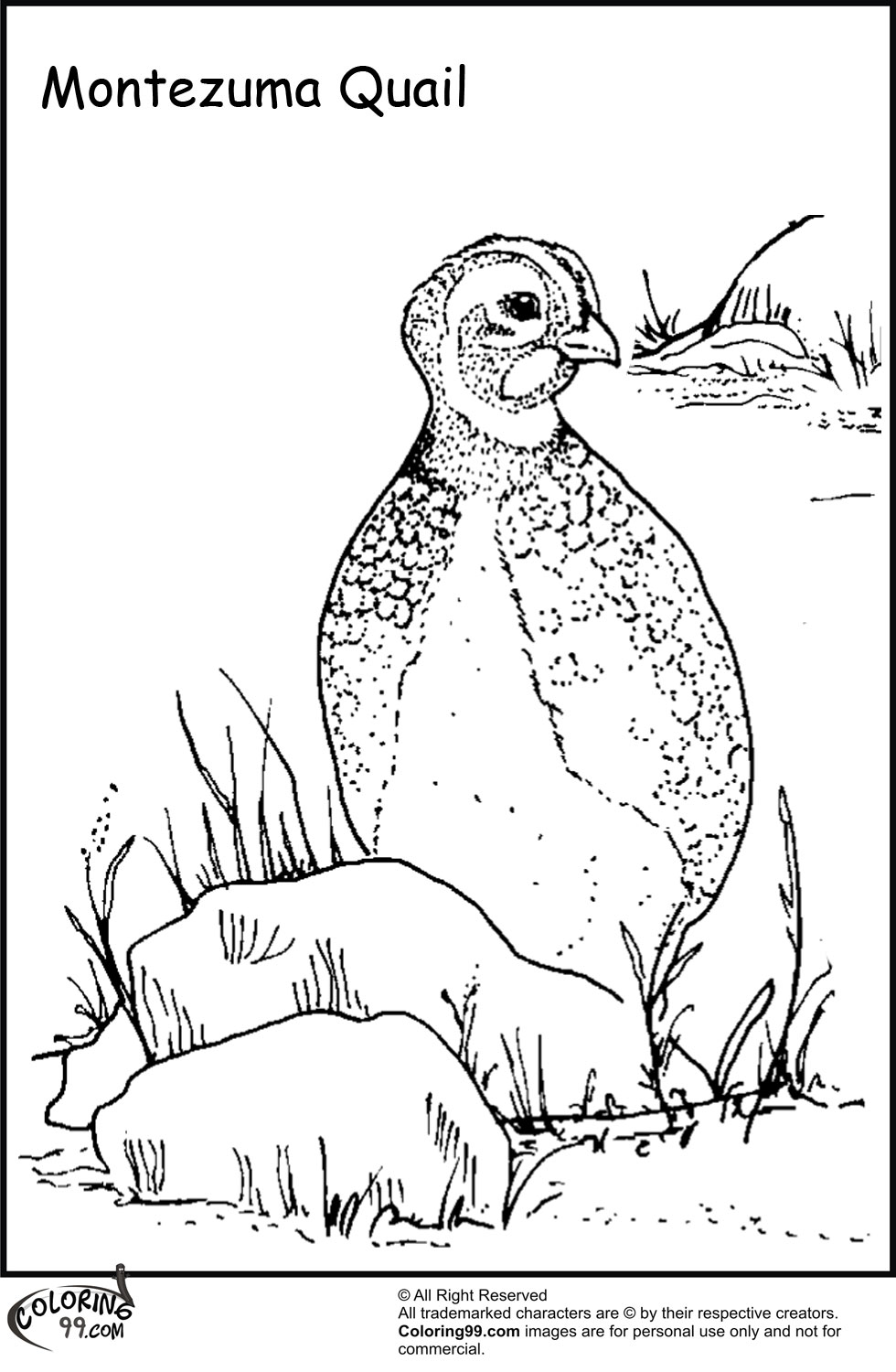 Quail Coloring Page Quail coloring pages