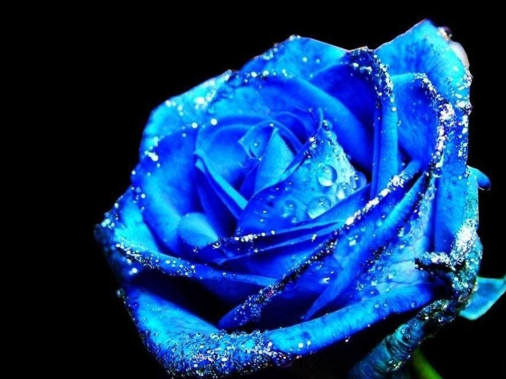 88 827 blue rose stock images are available royalty-free