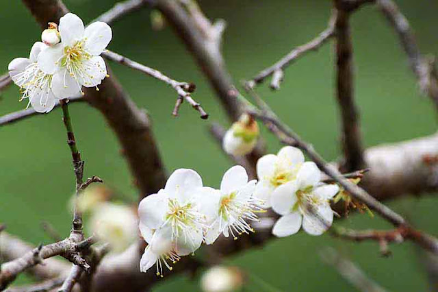 trees, flowers, plum blossoms