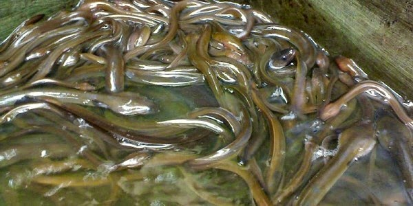Cara Budidaya Ikan Sidat di Kolam Terpal | Peluang Bisnis