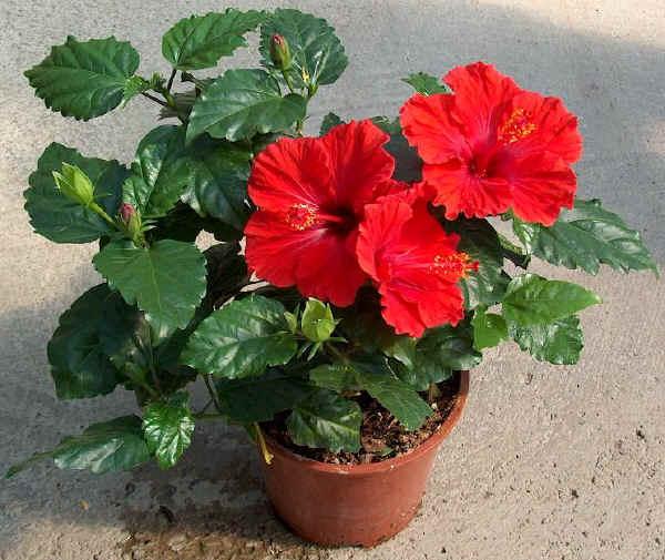 Gli Hibiscus Rosa Sinensis Vengono Utilizzati Come Piante Fiorite Da  Appartamento ( Da Collocare In Posizione Luminosa, Ma Lontano Dalle  Finestre ...