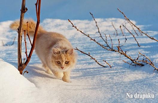 Nie dam kotu surowego mięsa, bo będzie agresywny!