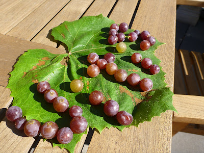 Vitis Spelled Out in Grapes