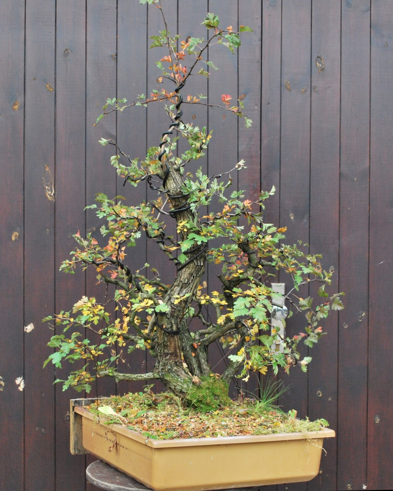 Bonsai Moravia Blog HAWTHORN QuotVINCKOquot