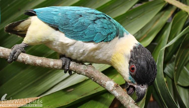 caique black-headed blue par blue jadewelchbirds curious parrot jade welch birds