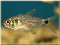 Head And Tail Light Tetra Fish Pictures