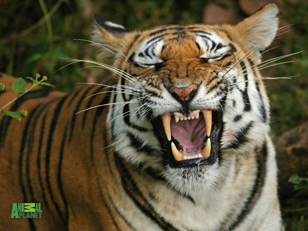 Tigers In Action Pictures | New Stylish Wallpaper