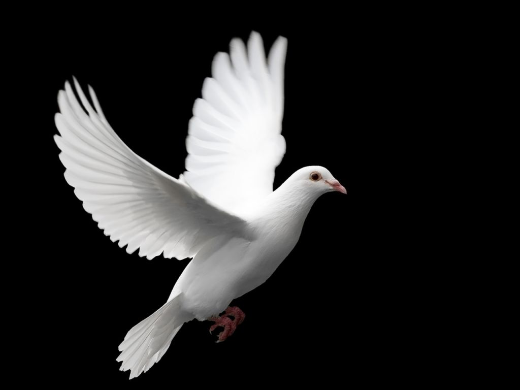 Image result for dove bird image