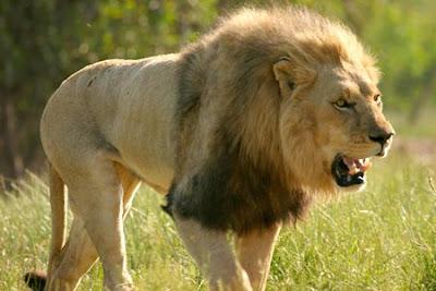 Pasangan Kekasih Menjaga Dua Ekor Singa